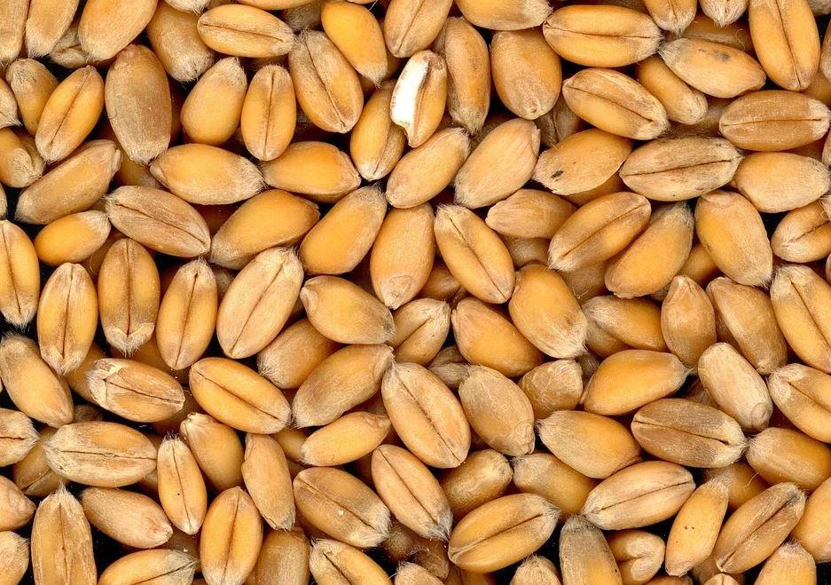 pšeničné zrno
