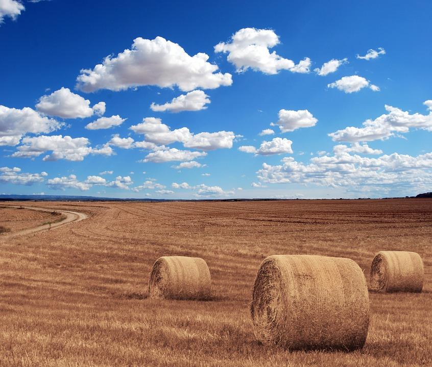 sklizená pšenice